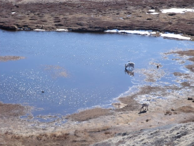 Caribou in mosquito pond