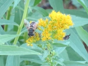 Bee fly on goldenrod