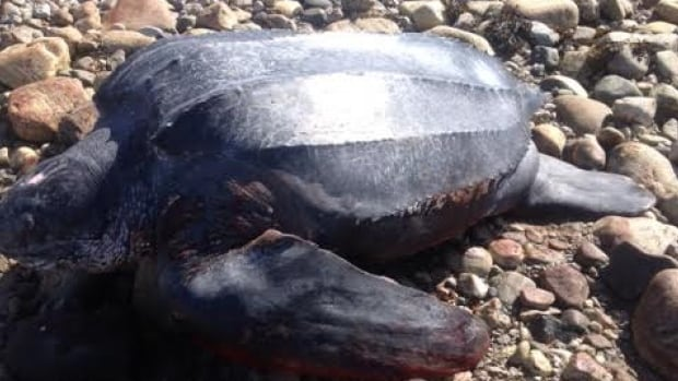 The leatherback sea turtle, the largest of its kind, is an endangered species.