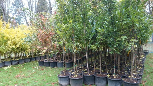 Vancouver tree sale hopes to boost forest canopy cbc news for Small garden trees for sale