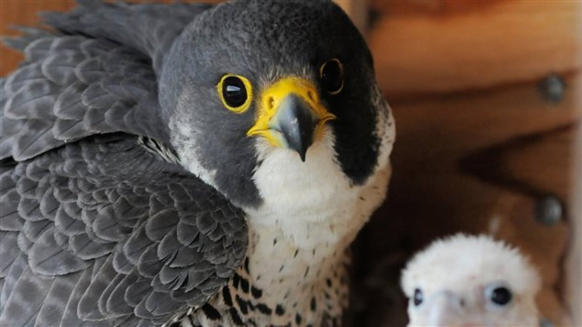 Peregrine Falcon Population Sees Record Growth In Quebec Montreal Cbc News