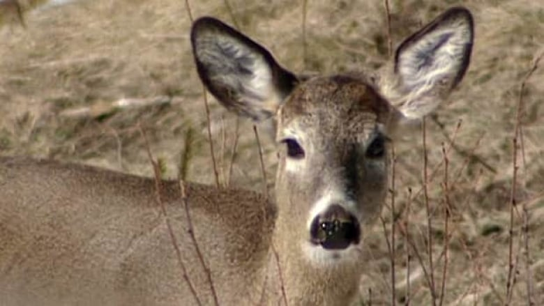 Oak Bay does are being collared and tested in urban deer control project