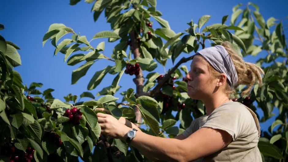 Amy Attas hard at work picking cherries.
