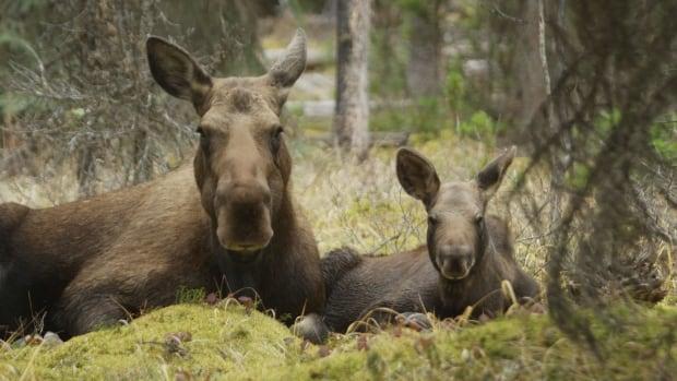 Moose calf and mom