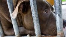 Pibull Behind Bars