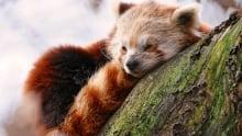 292 sleepy panda