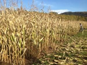 Pynn's Brook cornfield