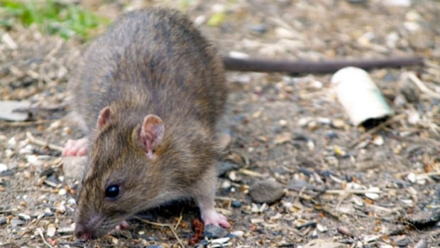 Rats are a growing concern in Kelowna and around the Okanagan.