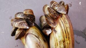 Invasive Species - Zebra Mussels