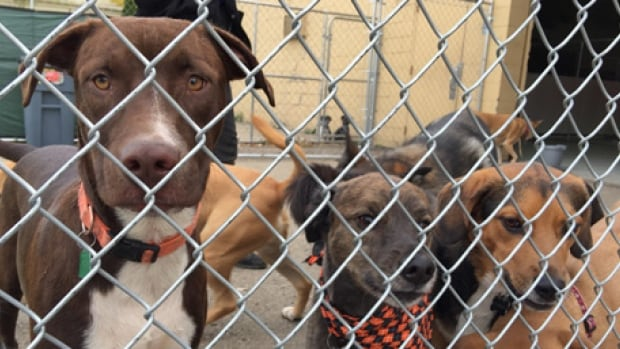 The Ontario SPCA, a charity with police powers that enforces the province's animal cruelty laws, raided a rural property last October near Chatham, Ont., and seized 31 dogs similar to these.
