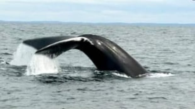Researchers say polypropylene fishing rope is proving dangerous to the North Atlantic right whale.