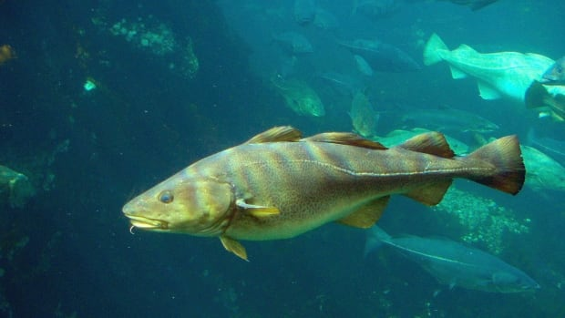 A House of Commons committee is calling on the Department of Fisheries and Oceans to create a plan for rebuilding the northern cod stocks.