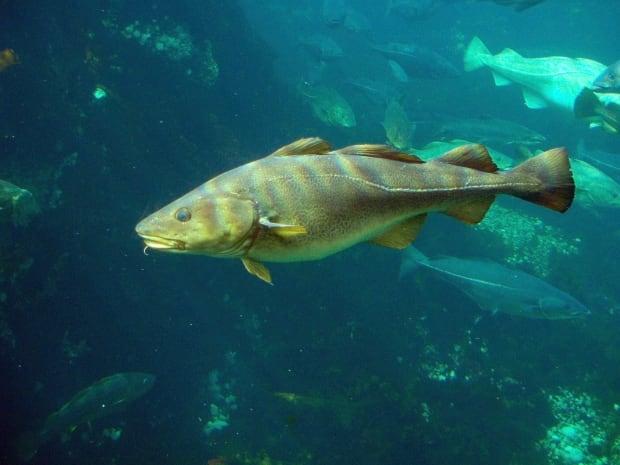 Northern cod