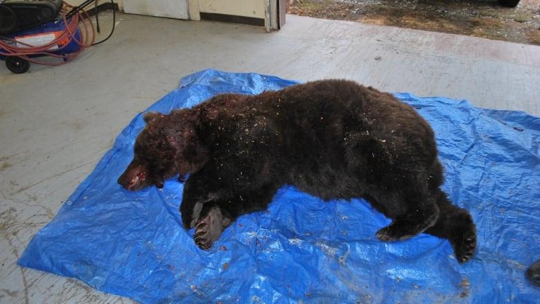 Marauding Grizzly Bear Shot Dead In Dawson City Yukon Cbc News