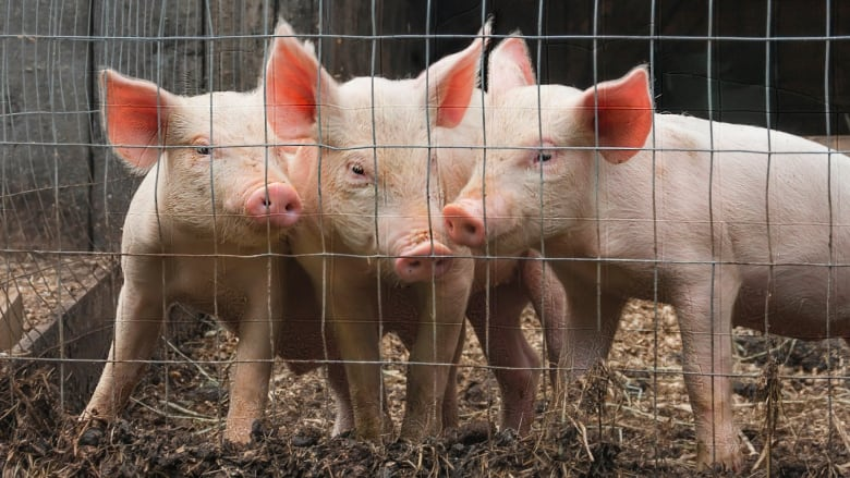 GMO pigs' cautionary tale of genetically modified food