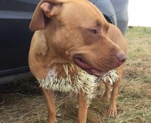 Dog gets porcupine quills