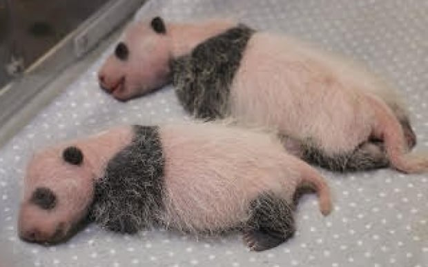 twin giant panda cubs toronto zoo