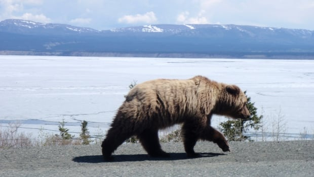 A grizzly bear travels a Yukon roadside in 2015.