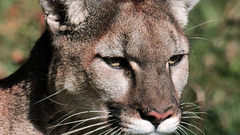 Cougars in saskatchewan