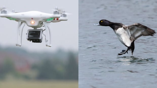 Mussel farmers are hoping drones can drive away the ducks.