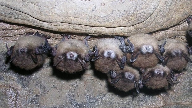 Bats with white-nose syndrome hang in a cave. The deadly fungal disease has wiped out millions of bats across eastern Canada, but hasn't arrived in Alberta yet.