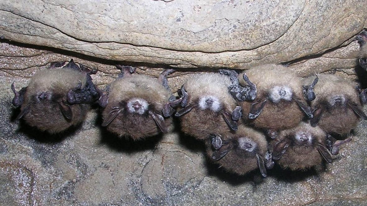 Researchers use 'mini tanning beds' to treat white-nose syndrome in bats