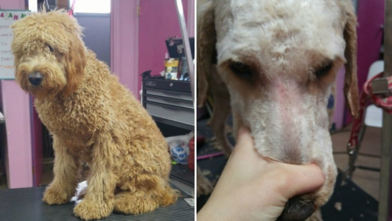 A before and after of a lice-infested dog shows how hard it is to spot the  parasites — which appear as tiny specs of dirt close to the skin. (A Royal  Touch)