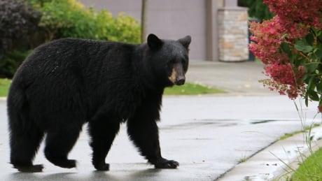Black bear in Port Moody, B.C.
