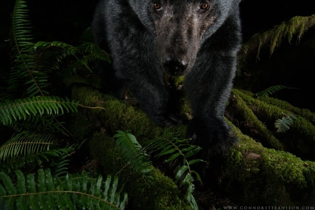 A black bear looks in - Connor Stefanison
