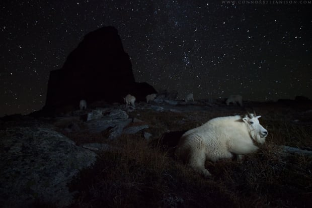 Night of the Mountain Goats - Connor Stefanison