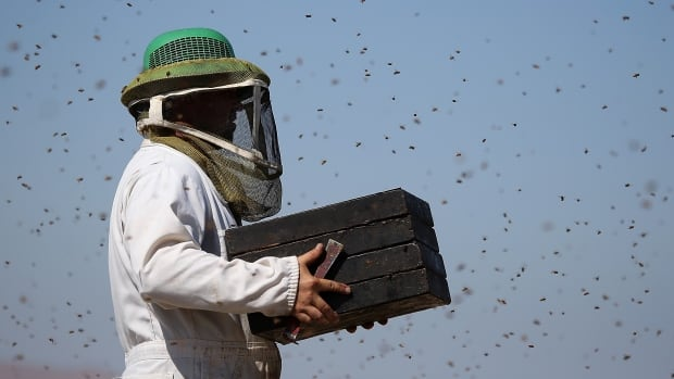 A group of Canadian scientists are launching a project this week to address the problems bee colonies are facing due to Canada's harsh winters and to adapt to our specific parasites and diseases.