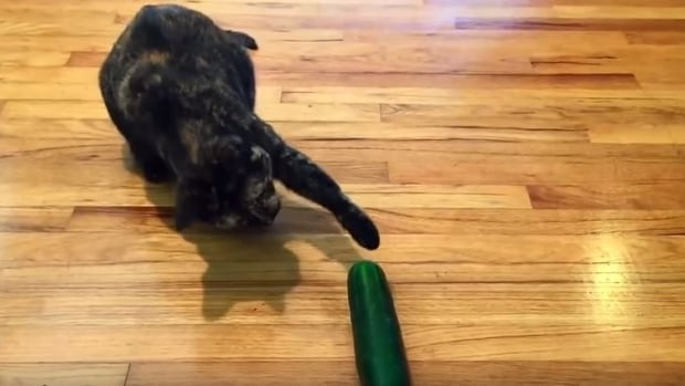 A cat captured seconds before it gets frightened by a cucumber.
