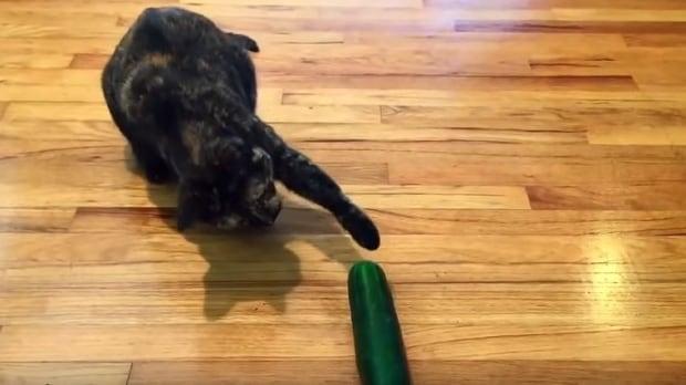 cat scared by cucumber