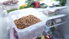 300 katharina unger mealworms