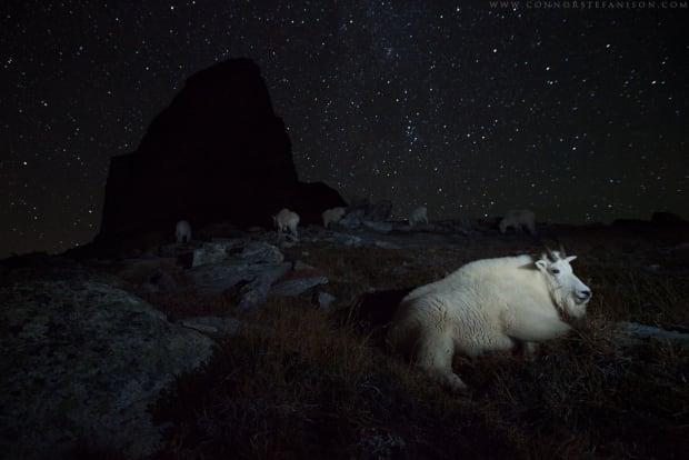 Wildlife pics/1100_NightGoats_ConnorStefanison.png
