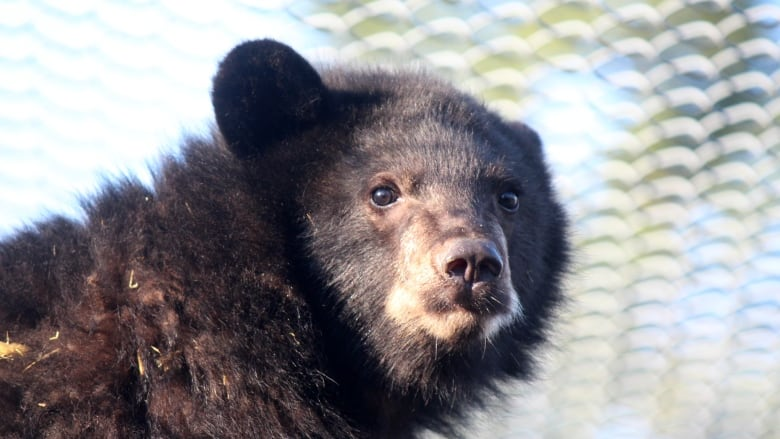Orphaned black bear cub checked in at Squamish hotel, melted hearts