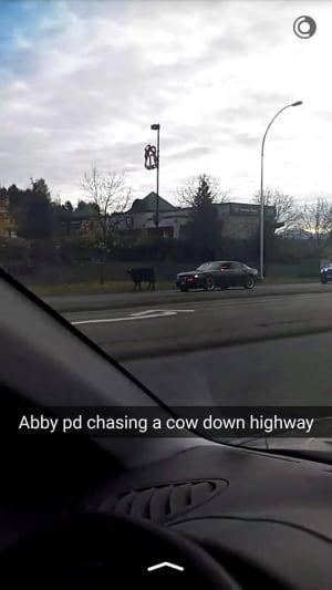 Abbotsford cow shooting