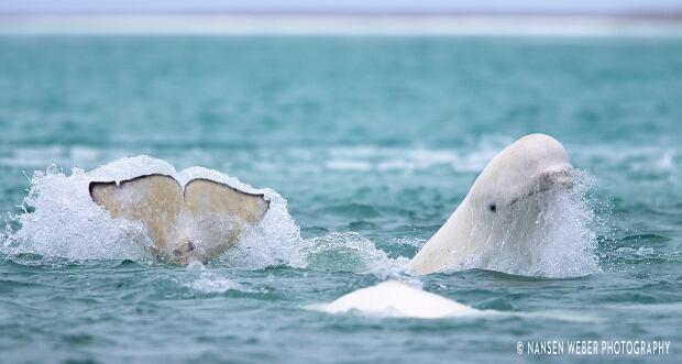 Beluga in Arctic