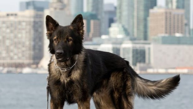 Lonca, pictured here, is a Toronto police dog that was slashed by a machete-wielding suspect in 2015. He has recovered fully. An anonymous corporate donor has offered to buy 18 Kevlar vests for Toronto police dogs in the hope of protecting the canines from armed offenders.
