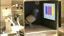 pigeon pathologists