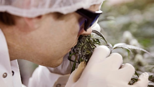 It's the smell of money. Master grower Ryan Douglas does quality control on a marijuana plant at Tweed Marijuana Inc in Smiths Falls, Ont. New Canadian laws liberalizing pot rules may give Canadian businesses a world-wide advantage.