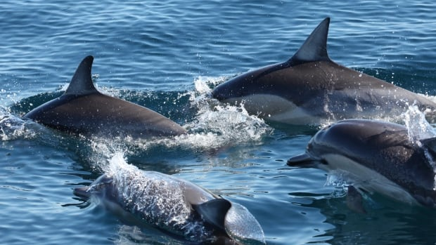 a short description of dolphins Description & behavior spinner dolphins, stenella longirostris most have long thin beaks with the exception of clymene dolphins (atlantic short-snouted spinners).