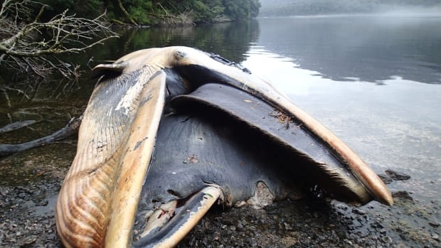 The coast of southern Chile has turned into a grave for 337 sei whales that were found beached in what scientists say is one of the biggest whale strandings ever recorded.