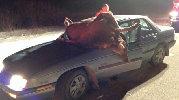 The driver of this car was trapped after a moose crashed through the windshield. Passersby got the man out of the the car, and he was taken to hospital.