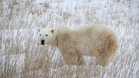 Churchill MB polar bear Nov 2015 in the grass