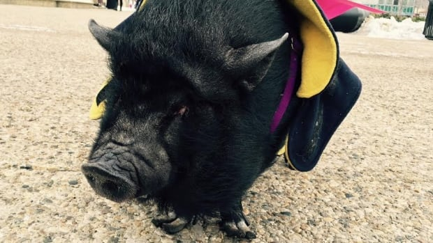 """Minnie the pot-bellied pig was among the protesters at today's protest, outfitted with a sign that reads """"pigs are smarter than dogs, and both are smarter than the NDP."""""""