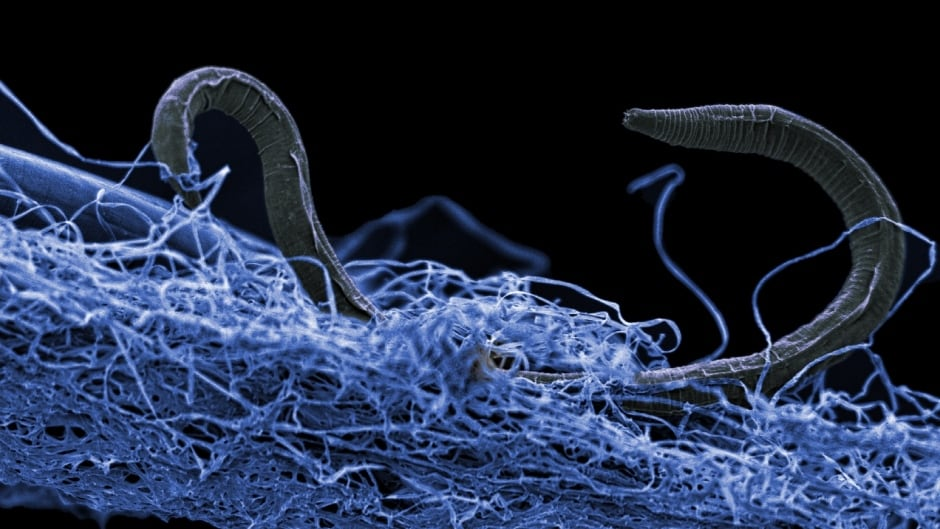 Microscopic Nematode worm burrowing in microbial biofilm (blue) collected at Kopanang Gold Mine at -1.4 km.