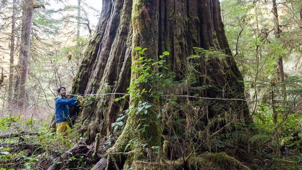 Ancient Forest Alliance's Ken Wu measures the base of the 'Tolkien Giant' in the Central Walbran Valley on Vancouver Island, B.C., in this recent handout photo.