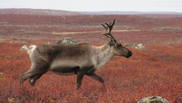 A caribou on arctic tundra in Canada.