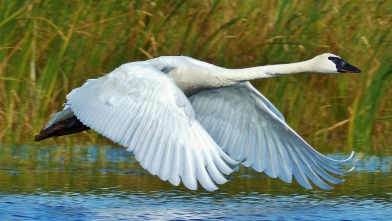 Hunters fined $19,000 for shooting swan   CBC News